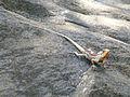 Calotes versicolor-Sri Lanka (1).jpg
