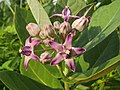 Calotropis gigantea flower at Madayippara.jpg