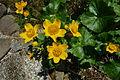 Caltha palustris b.jpg