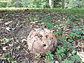 Calvatia gigantea in Dendrological Garden in Poznan (1).jpg