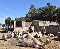 Camel market at Daraw, photo by Hatem Moushir 26.jpg
