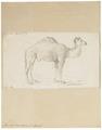 Camelus dromedarius - 1700-1880 - Print - Iconographia Zoologica - Special Collections University of Amsterdam - UBA01 IZ21600057.tif