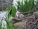 Camley Street Pond Canada geese 0956.JPG