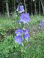 Campanula persicifolia flowers 2.jpg
