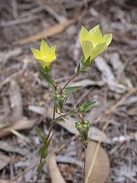 Campanula sulphurea 1