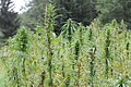 Cannabis sativa - GBA Viote 1.jpg