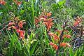 Cape Flats Dune Strandveld flowers at Macassar Dunes.jpg