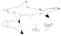 Carcharhinus hemiodon nmfs.png