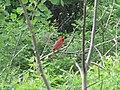 Cardinal on branch.jpg