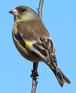 Carduelis sinica minor.JPG
