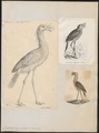 Cariama cristata - 1700-1880 - Print - Iconographia Zoologica - Special Collections University of Amsterdam - UBA01 IZ17300061.tif