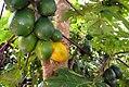 Carica papaya 20zz.jpg