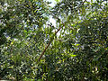 Carob tree with bunches of unripe pods majorca arp.jpg