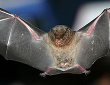 The image depicts the silky short-tailed bat in mid-flight, with its wings outstretched.