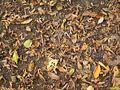 Carpinus betulus 06 ies.jpg