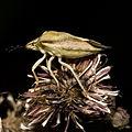 Carpocoris.fuscispinus.6986.jpg