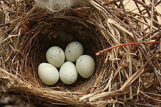 House finch - Nest and eggs