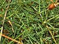 Caryophyllaceae - Dianthus pavonius.JPG