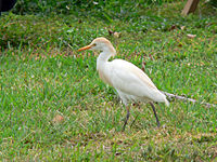 Cattle Egret (Bubulcus ibis) -Florida Keys.jpg