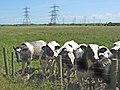 Cattle and power lines - geograph.org.uk - 1357126.jpg