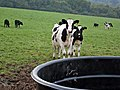 Cattle near Ladyburn - geograph.org.uk - 334599.jpg
