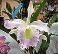 Cattleya (Laelia) purpurata x Brassavola (Rhyncolaelia) digbyana -香港沙田洋蘭展 Shatin Orchid Show, Hong Kong- (9149790237).jpg