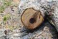 Cavités dans des bûches de peuplier blanc (33).JPG