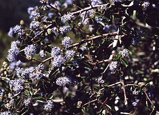 <i>Ceanothus foliosus</i> species of plant
