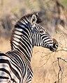 Cebra de Burchell (Equus quagga burchellii), parque nacional Kruger, Sudáfrica, 2018-07-26, DD 10.jpg