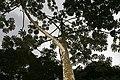 Cecropia obtusifolia 29zz.jpg