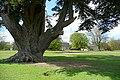 Cedar in Brightwell Park (geograph 3444817).jpg