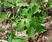 Celandine Poppy Stylophorum diphyllum Leaf 2475px.jpg