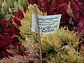 Celosia wool flower from Lalbagh flower show Aug 2013 8451.JPG