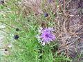 Centaurea scabiosa - Chaber driakiewnik.jpg