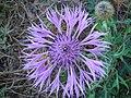 Centaurea sphaerocephala.JPG