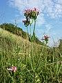Centaurium erythraea (subsp. erythraea) sl12.jpg
