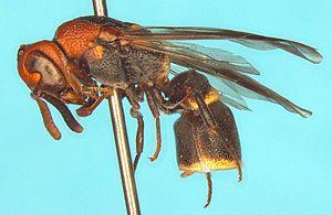 Cephalastor - Cephalastor rominae Garcete-Barrett