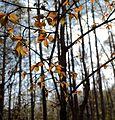 Cerasus jamasakura - Flickr - odako1 (4).jpg