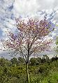 Cercis siliquastrum - Judas tree - Erguvan 04.jpg