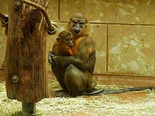 Golden-bellied mangabey Species of Old World monkey