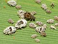 Cereal Aphids (16064119405).jpg