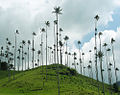 Ceroxylon quindiuense, the world's tallest monocotyledon. (11211135095).jpg
