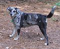 Catahoula Leopard Dog Wikipedia