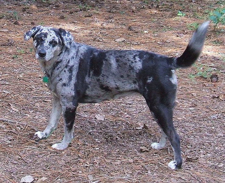 Large spotted dog