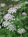 Chaerophyllum hirsutum roseum - Flickr - peganum (1).jpg