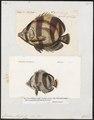 Chaetodon striatus - 1700-1880 - Print - Iconographia Zoologica - Special Collections University of Amsterdam - UBA01 IZ13100133.tif
