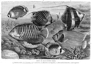 Butterflyfish - Various examples of butterflyfishes, along with angelfishes
