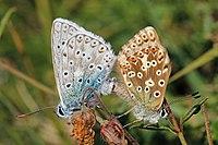 Chalkhill blue butterflies (Polyommatus coridon) mating 1.jpg