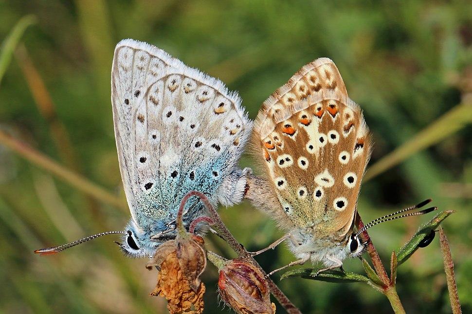 Chalkhill blue butterflies (Polyommatus coridon) mating 1