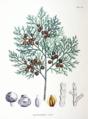 Chamaecyparis obtusa SZ121.png